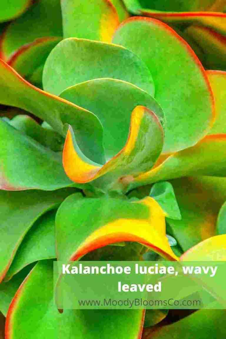 Kalanchoe luciae, wavy leaved