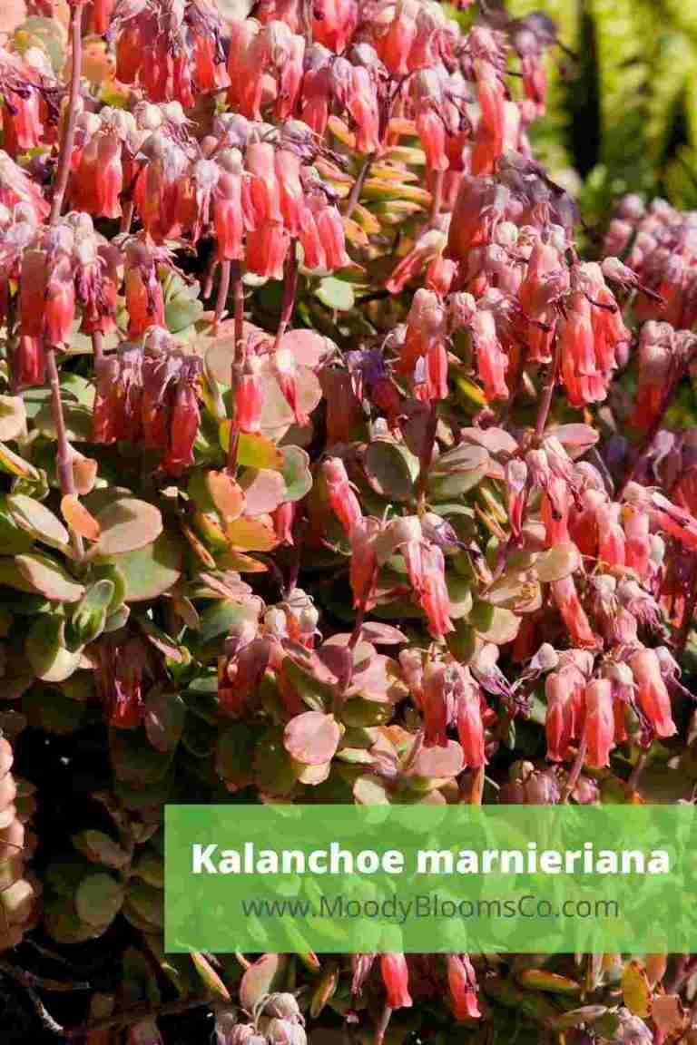 Kalanchoe marnieriana blooms