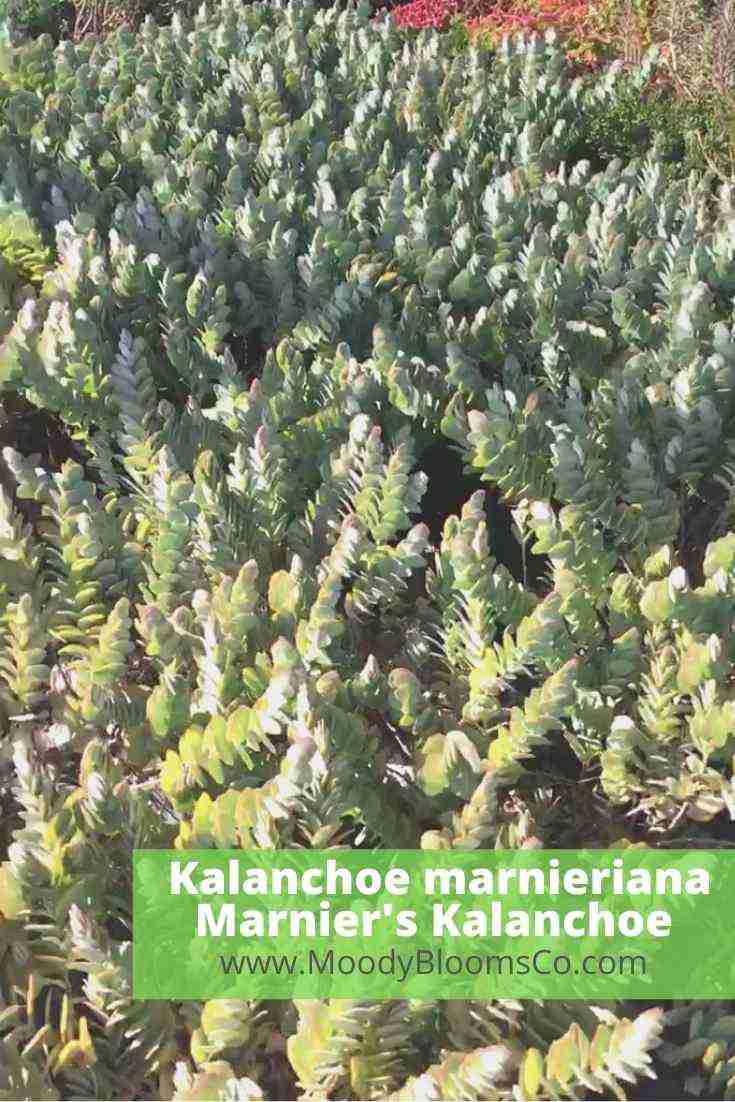 Kalanchoe marnieriana Marnier's Kalanchoe