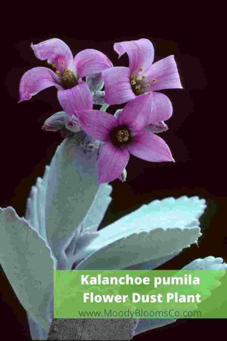 Kalanchoe pumila - Flower Dust Plant
