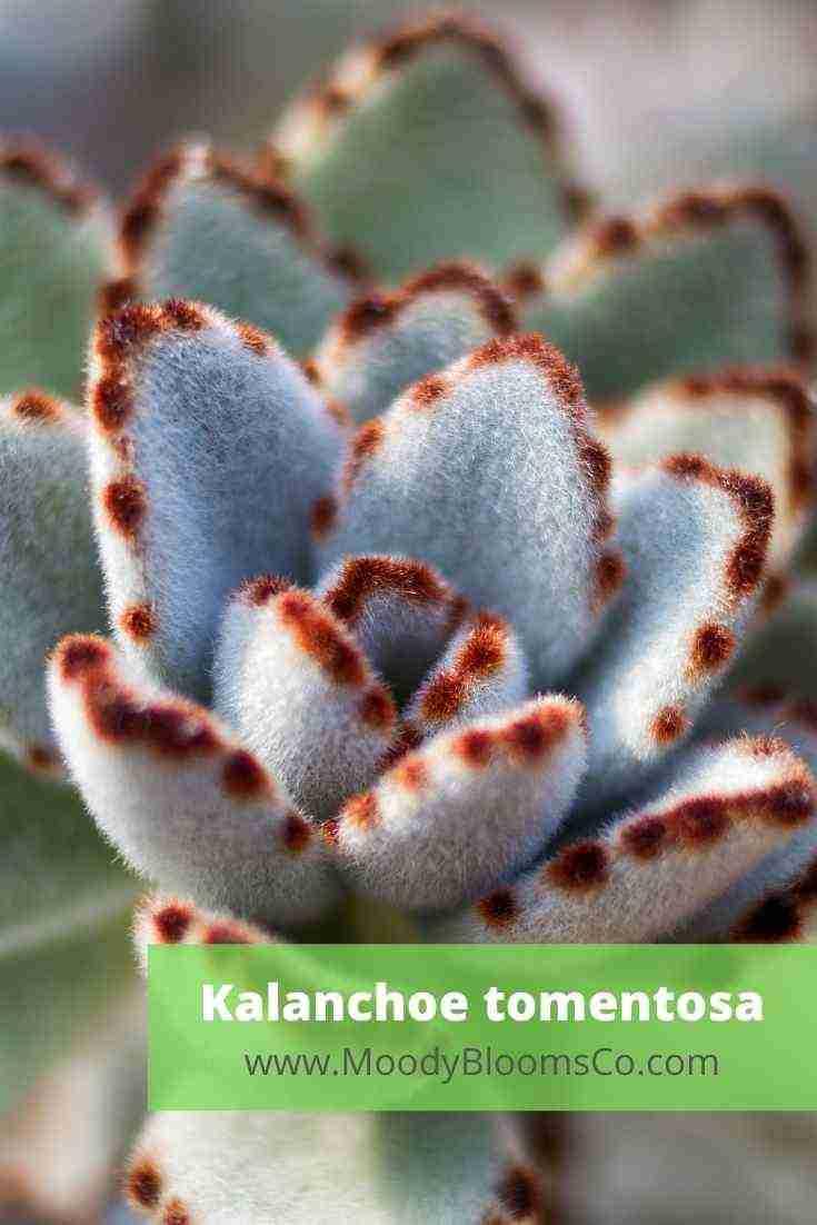 Kalanchoe tomentosa