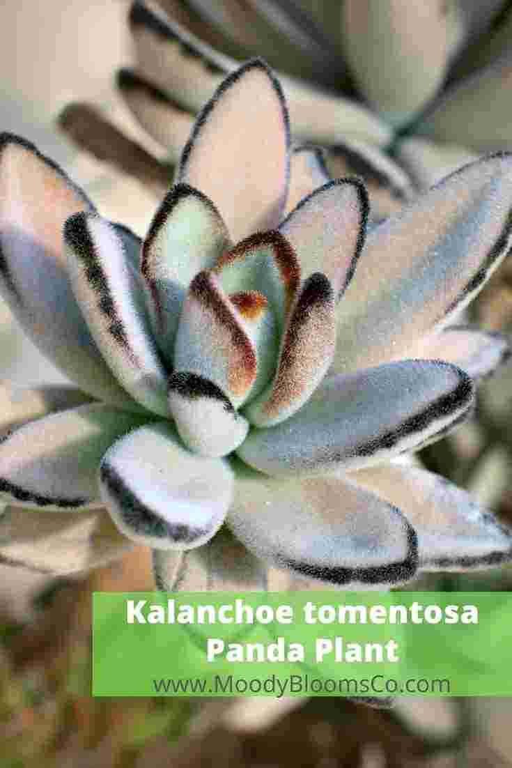 Kalanchoe tomentosa - Panda Plant