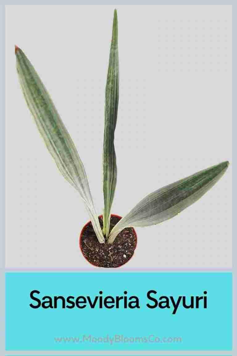 Sansevieria Sayuri
