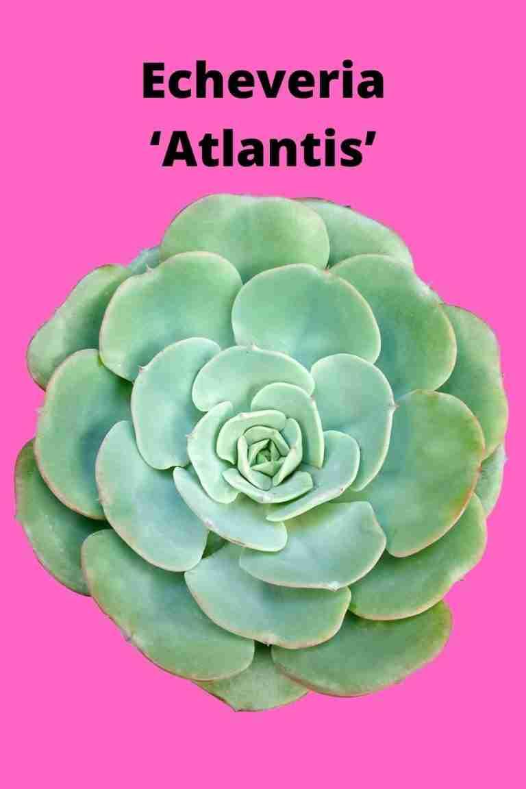 Echeveria 'Atlantis'